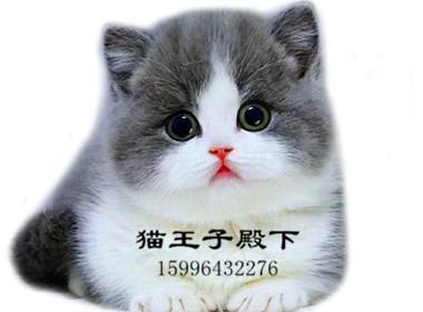 曼基康蓝白矮脚猫 幼猫活体 纯种美短矮脚 上海可实地挑选