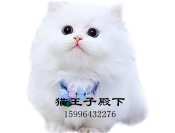 拿破仑曼基康矮脚猫短腿猫幼崽拿破仑猫短腿猫宠物猫