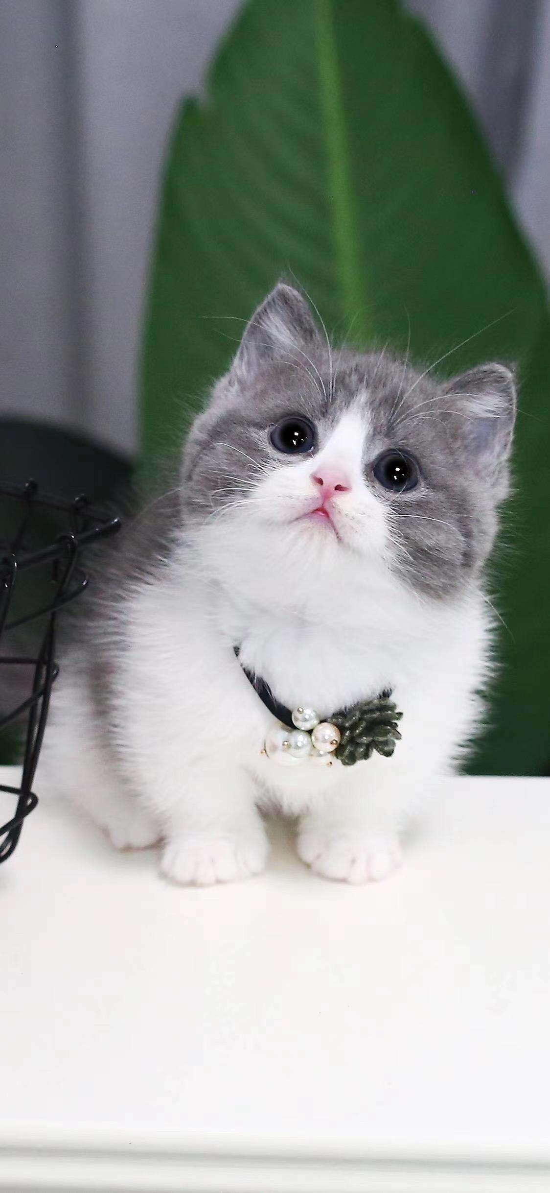 最大曼基康猫舍、官方推荐、五星好评猫舍、终身质保、荣誉猫舍
