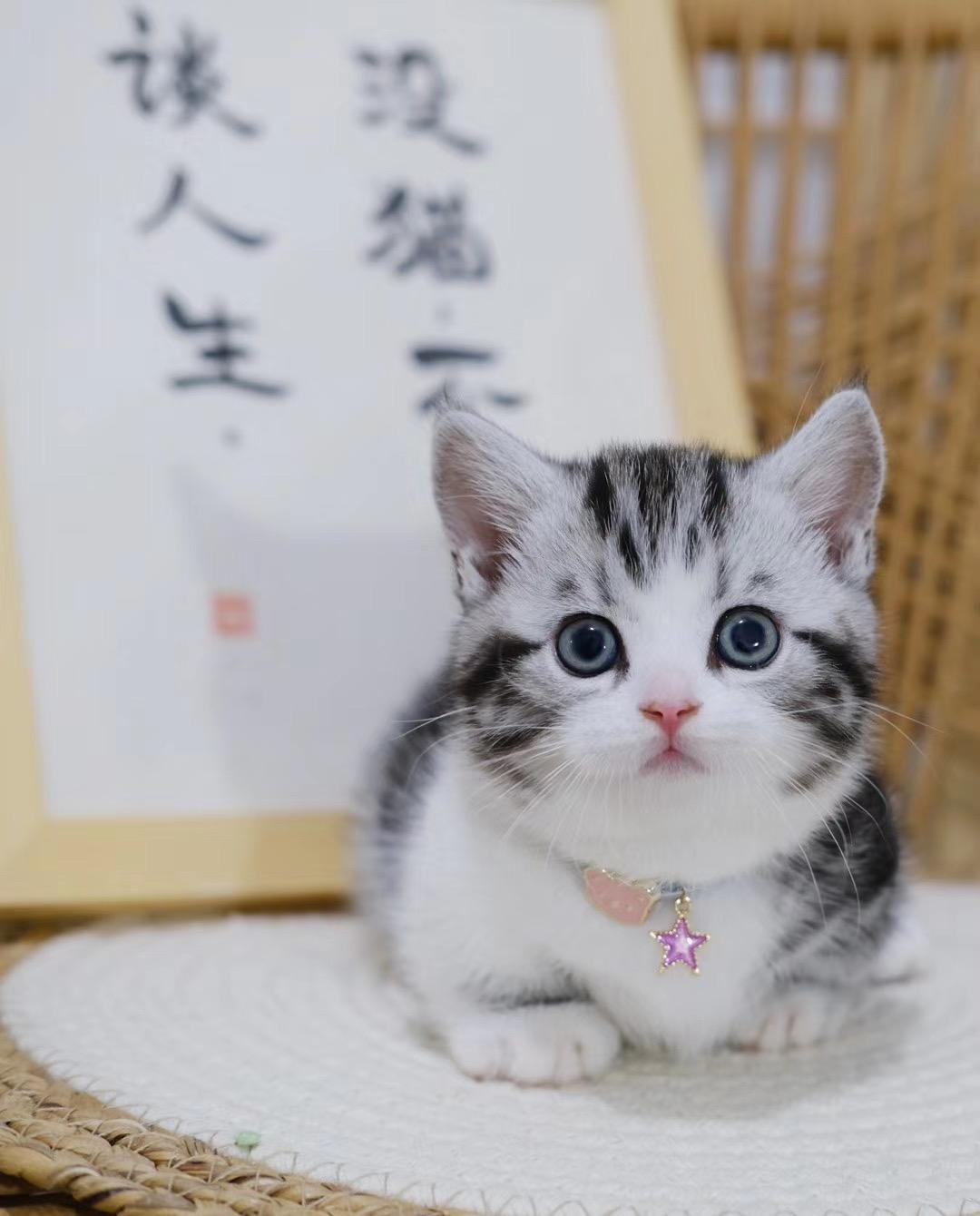 美国短毛猫图片及价格 养美短注意事项 美短起司加白