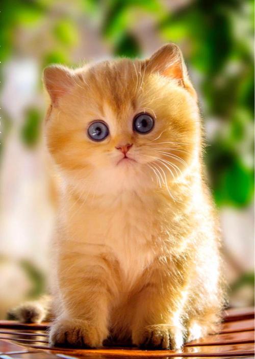 官方推荐猫舍 7天无理由退货 正规CFA猫舍