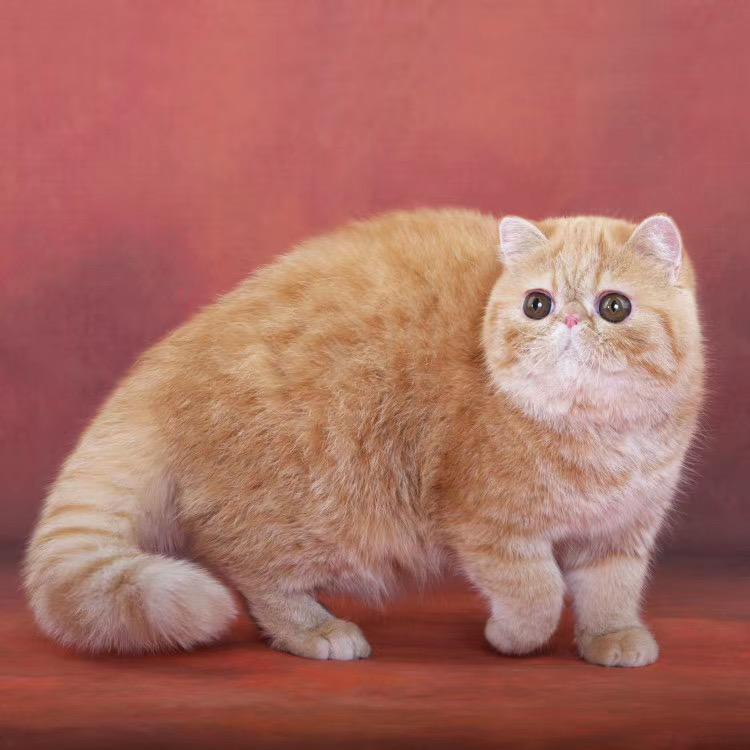 CFA注册正规猫舍加菲猫异国短毛猫
