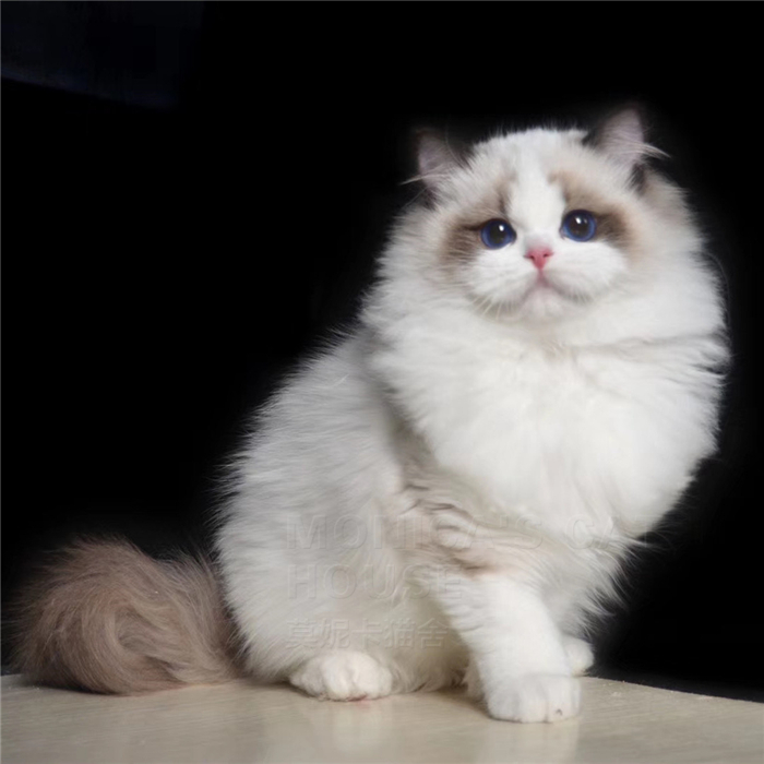 CFA注册正规猫舍 甜美布偶猫