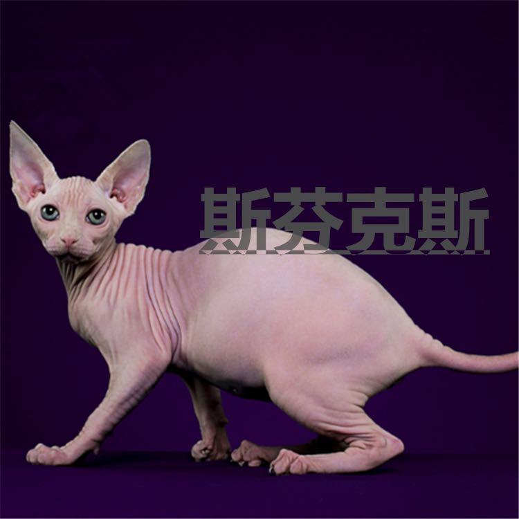 CFA注册正规猫舍纯种无毛猫斯芬克斯德文