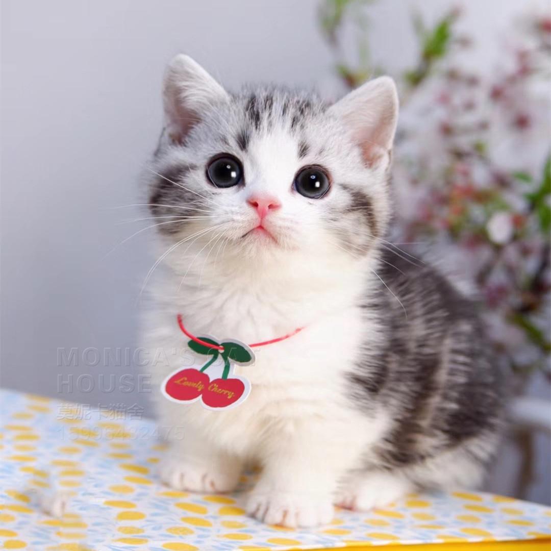 CFA注册正规猫舍美国短毛猫起司虎斑 包纯种包健康