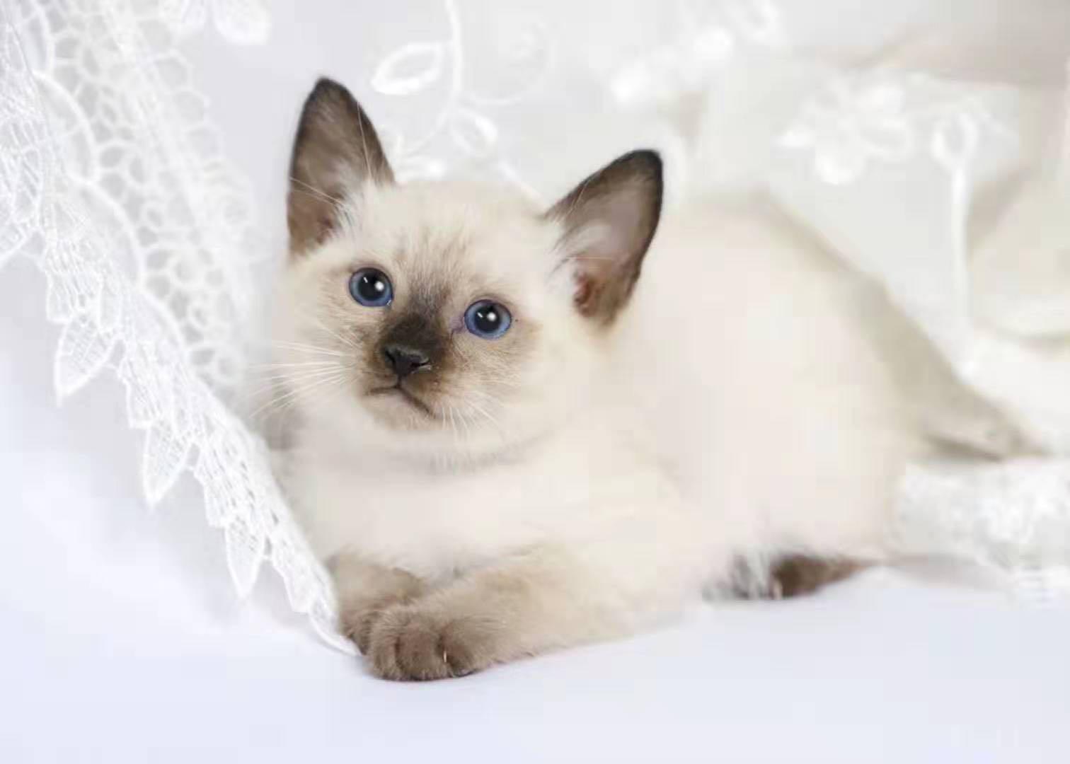 CFA注册正规猫舍可爱暹罗猫