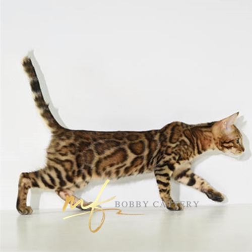 猫舍出售精品纯种孟加拉豹猫 头版优秀体态好花纹清晰2