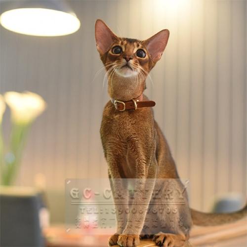 猫舍出售纯种家养阿比西尼亚猫,支持上门挑选送货上门