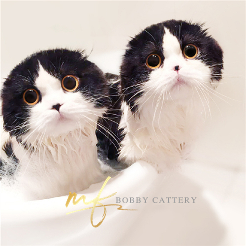 出售纯种苏格兰折耳猫根折小可爱健康家养可上门接猫