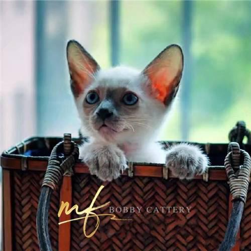 出售宠物猫咪暹罗猫纯种健康同城支持上门挑选