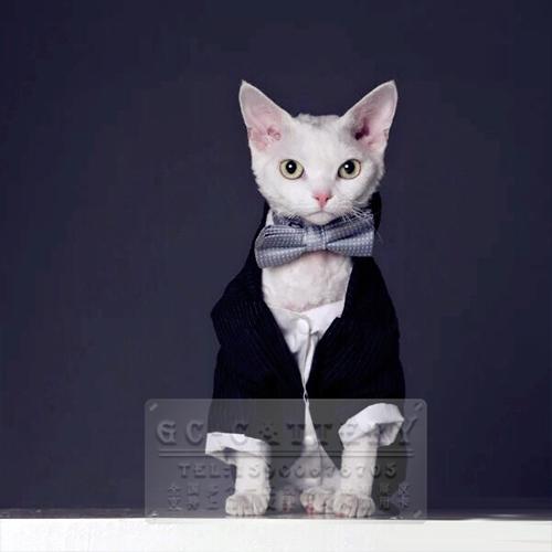 猫舍出售德文卷毛猫绵羊毛手感精灵外表活泼开朗