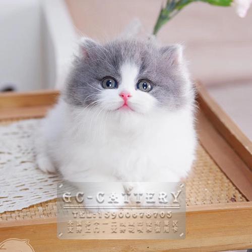 TICA 认证猫舍出售纯种曼基康矮脚猫地毯矮可上门