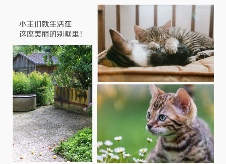 猫舍出售精品纯种孟加拉豹猫 头版优秀体态好花纹清晰15