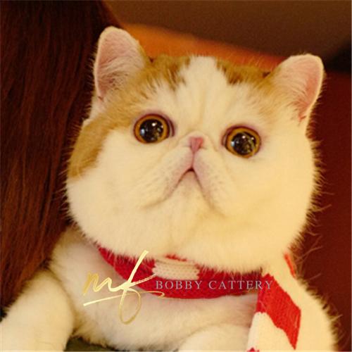 CFA猫舍出售纯种加菲猫 大脸猫幼猫活体支持上门选猫