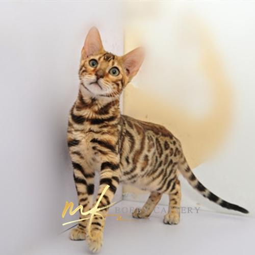 猫舍出售精品纯种孟加拉豹猫 头版优秀体态好花纹清晰4
