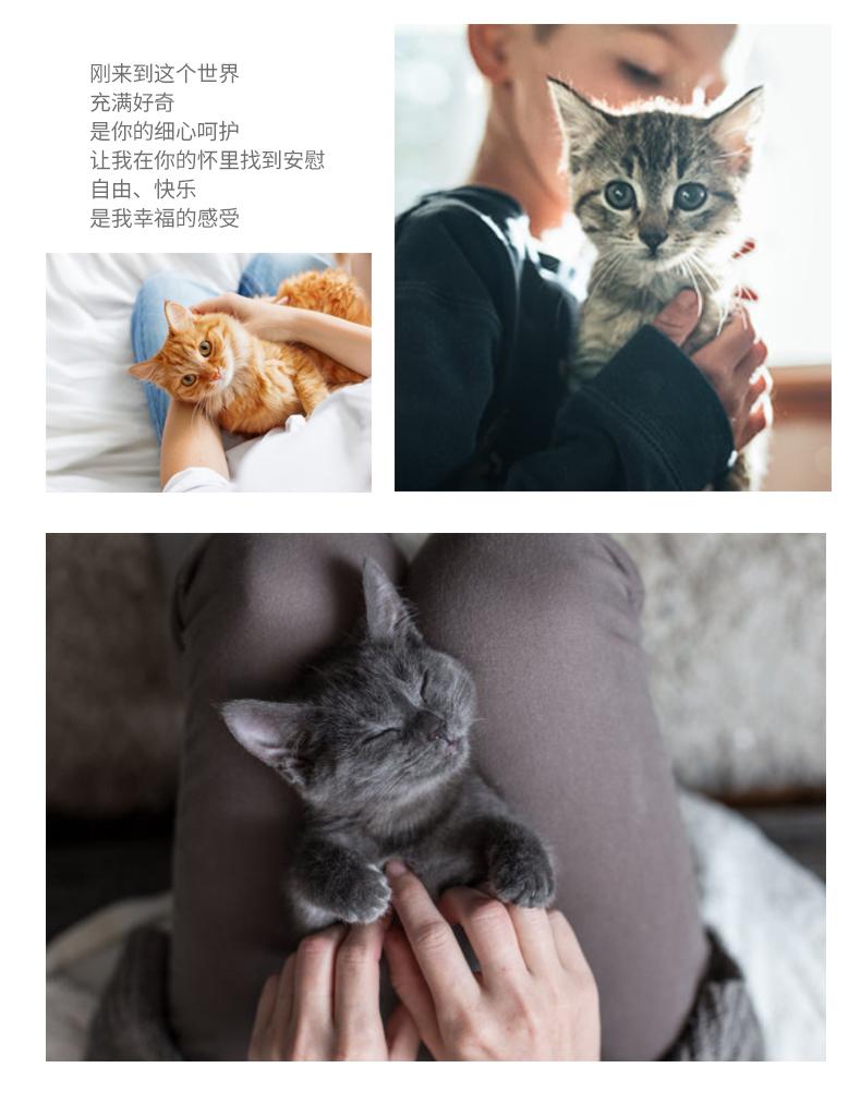 猫舍出售精品纯种孟加拉豹猫 头版优秀体态好花纹清晰18