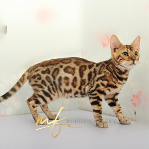 猫舍出售精品纯种孟加拉豹猫 头版优秀体态好花纹清晰3