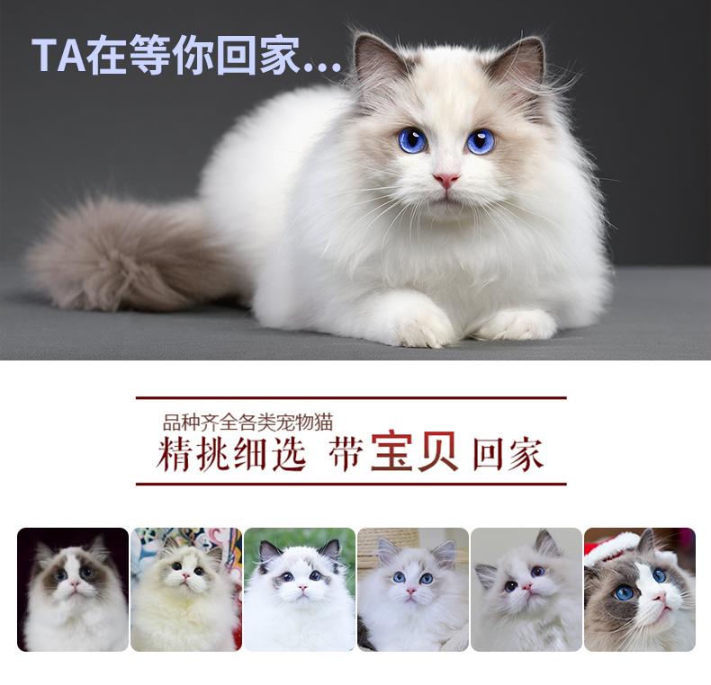 猫舍出售精品纯种孟加拉豹猫 头版优秀体态好花纹清晰8