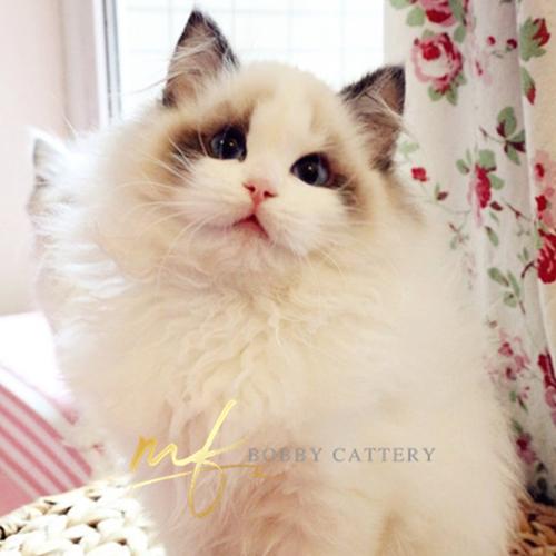 猫舍出售精品海双布偶 幼猫双色蓝眼纯种家养高贵优雅