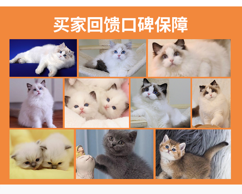 猫舍出售精品纯种孟加拉豹猫 头版优秀体态好花纹清晰12