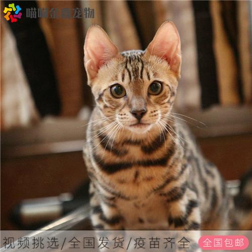 CFA认证资质纯种豹猫 可以上门挑选签订购猫协议