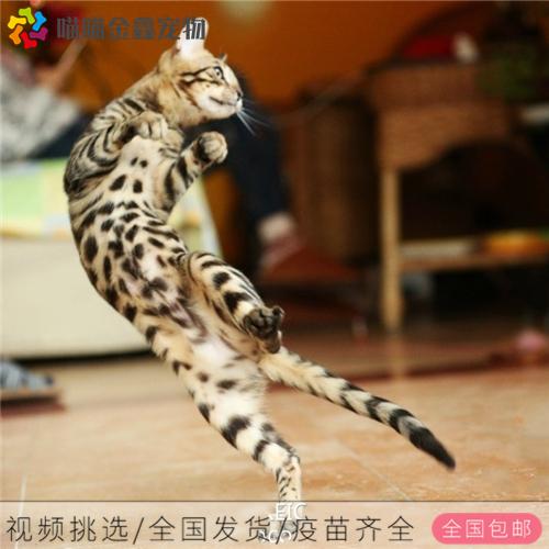 CFA认证资质纯种豹猫 可以上门挑选签订购猫协议4