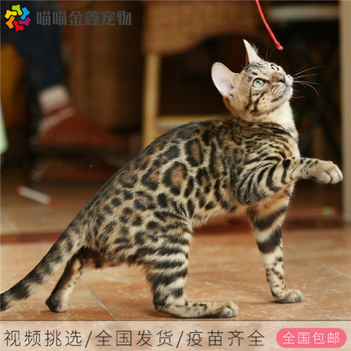 CFA认证资质纯种豹猫 可以上门挑选签订购猫协议3