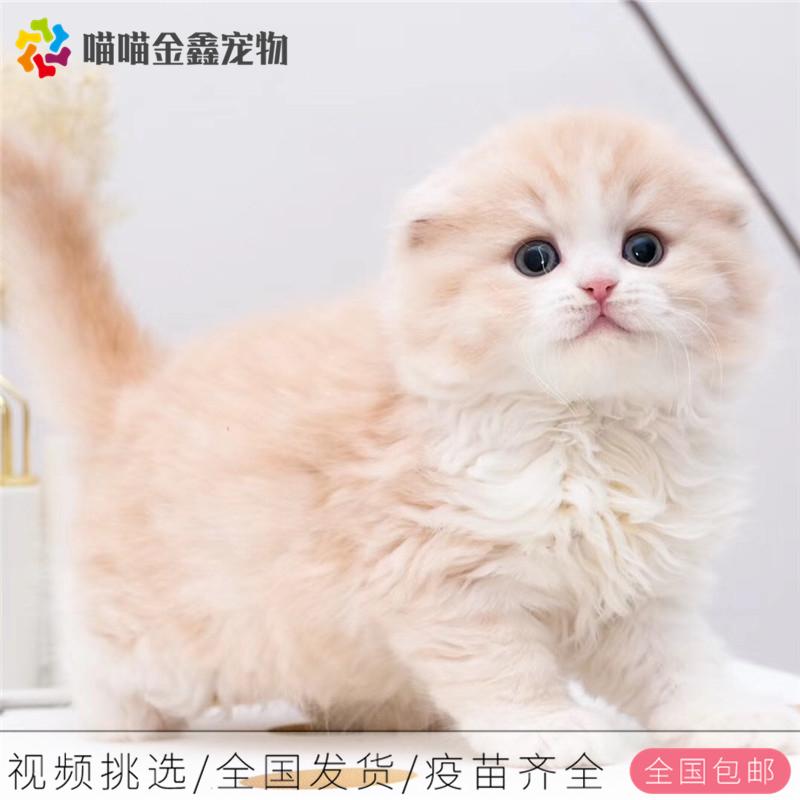 折耳猫纯种猫可以上门挑选全国连锁企业猫舍
