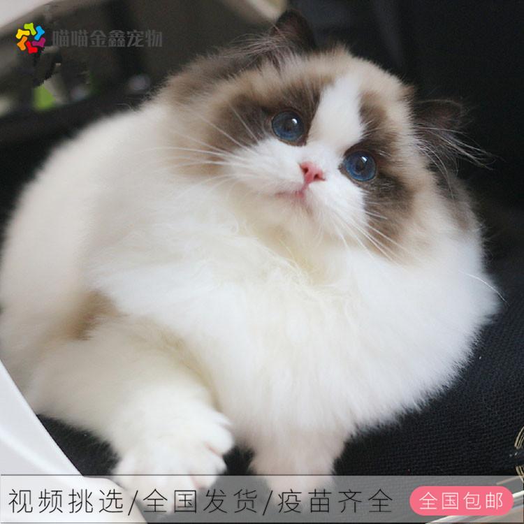 全国连锁正规猫舍纯种布偶猫可以上门挑选签订合同