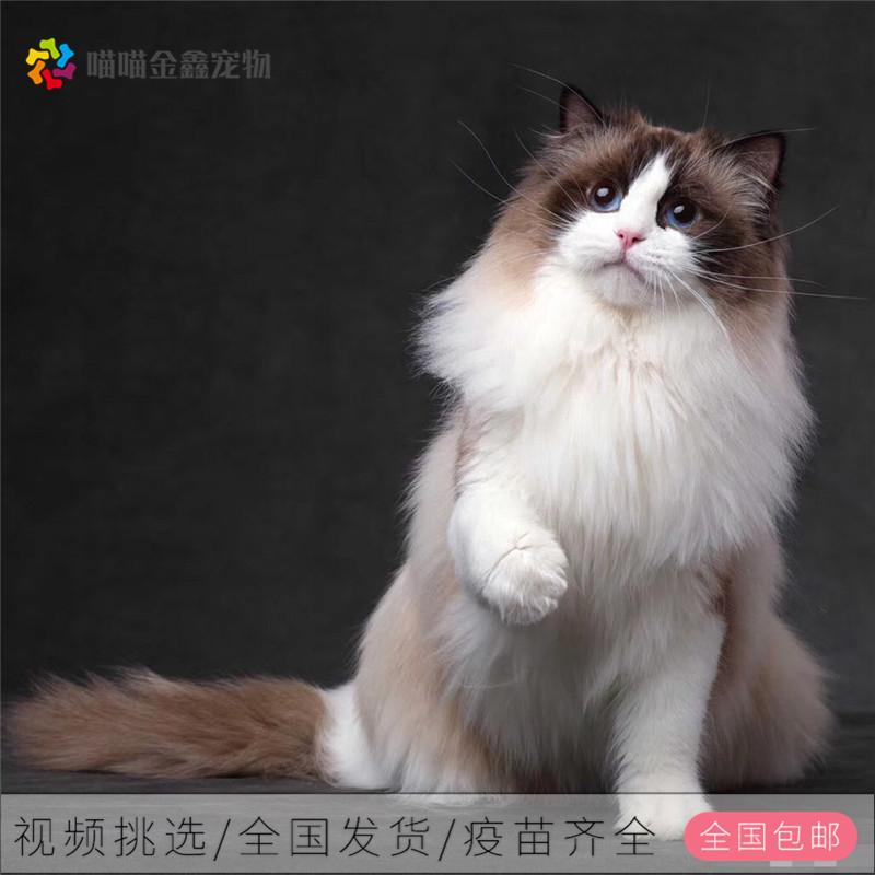 布偶猫全国连锁正规猫舍可以上门挑选签订合同