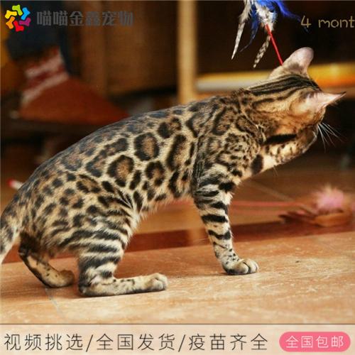 CFA认证资质纯种豹猫 可以上门挑选签订购猫协议2