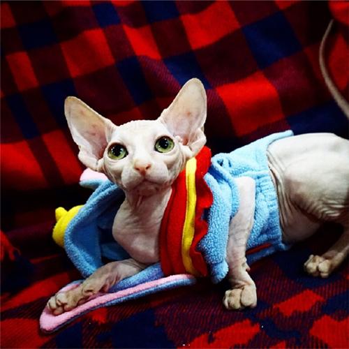 CFA注册猫舍 斯芬克斯无毛猫纯种幼猫 可上门挑选