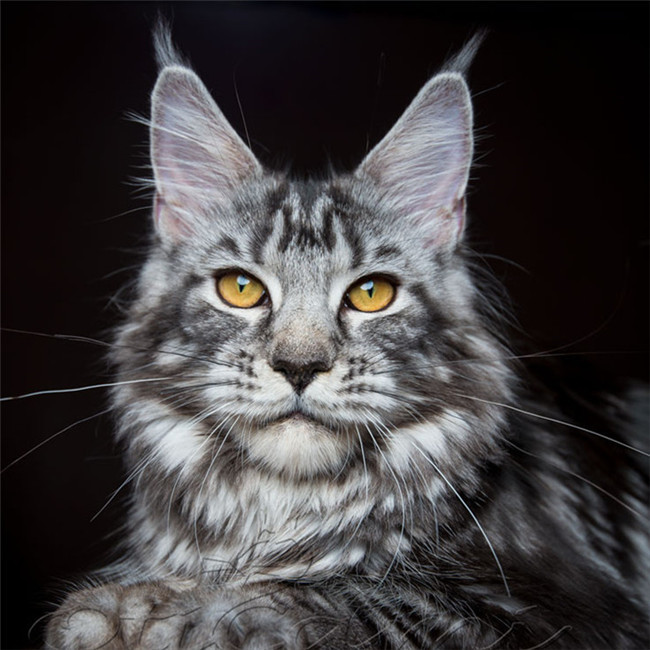 CFA注册猫舍 缅因猫幼猫纯种宠物猫 可上门挑选