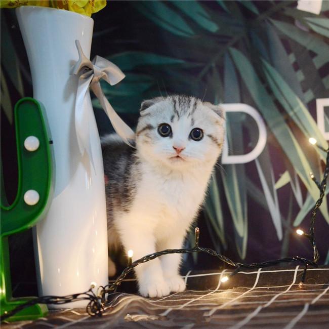 CFA注册猫舍 纯种苏格兰折耳猫幼猫活体 可上门挑选
