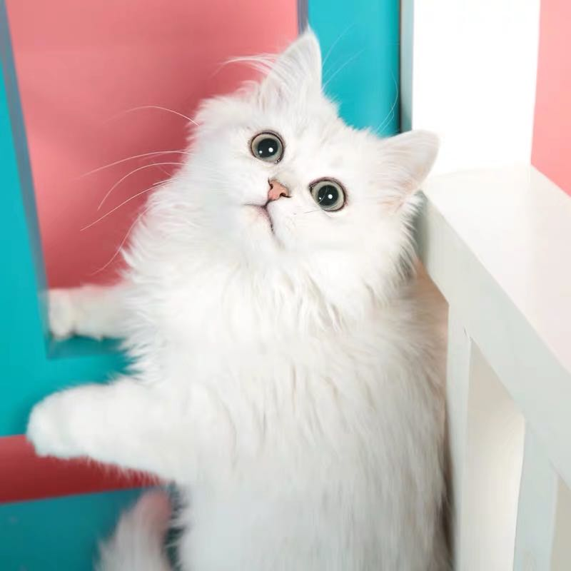 CFA注册猫舍 金吉拉幼猫纯种长毛猫活体 可支持上门挑选