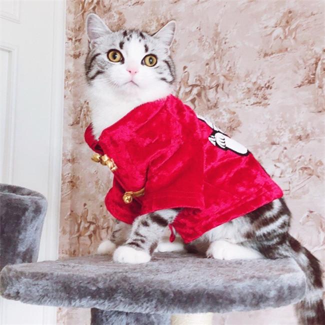CFA注册猫舍 美国短毛猫加白起司纯种宠物猫