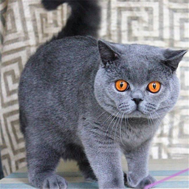 CFA注册猫舍 蓝猫活体宠物猫 可上门挑选