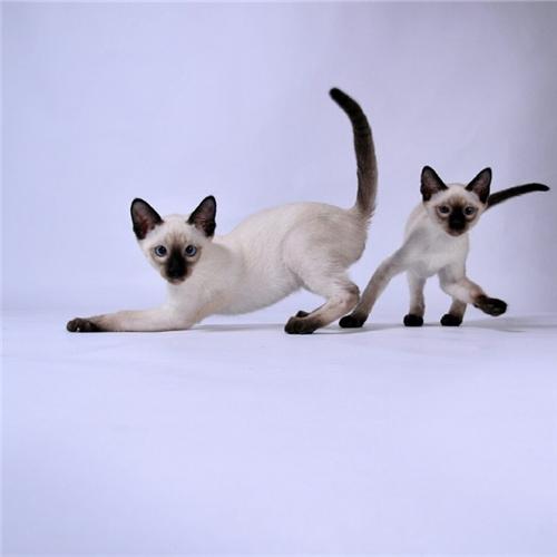 CFA注册猫舍纯种暹罗幼猫活体 可上门挑选