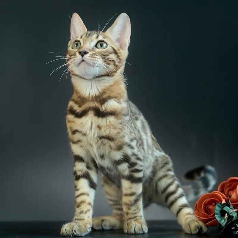 CFA注册猫舍 孟加拉豹猫幼猫空心纹纯种豹猫2