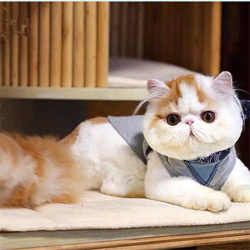 CFA注册猫舍加菲猫 纯种宠物猫活体
