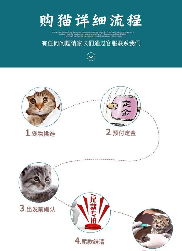 CFA注册猫舍 孟加拉豹猫幼猫空心纹纯种豹猫6