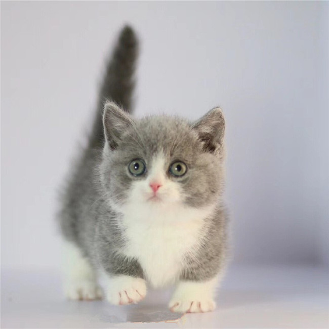 CFA注册猫舍 蓝白矮脚 曼基康矮脚幼猫可上门挑选