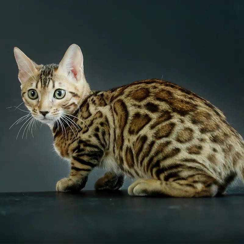 CFA注册猫舍 孟加拉豹猫幼猫空心纹纯种豹猫3