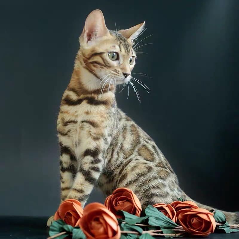 CFA注册猫舍 孟加拉豹猫幼猫空心纹纯种豹猫