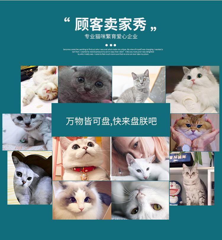CFA注册猫舍 孟加拉豹猫幼猫空心纹纯种豹猫8