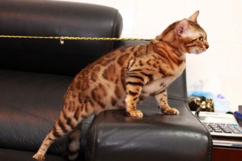 官方推荐猫舍正规CFA猫舍 豹猫9