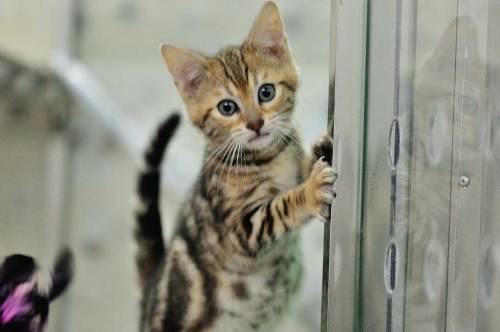 官方推荐猫舍正规CFA猫舍 豹猫2