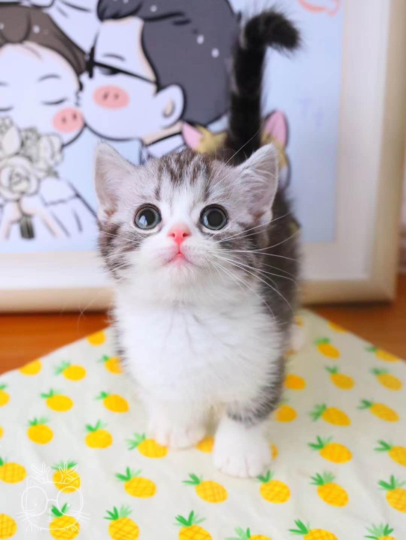 曼基康猫 纯种曼基康矮脚猫 矮脚猫 曼基康幼猫 曼基康小猫