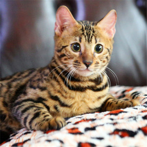官方推荐猫舍正规CFA猫舍 豹猫8