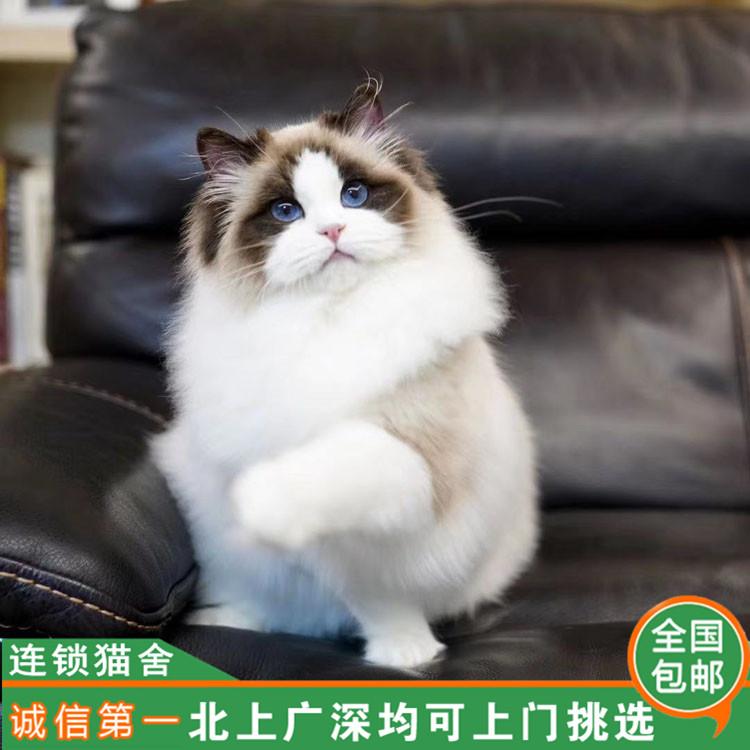 纯种布偶猫 正规CFA猫舍全国发货 无忧售后